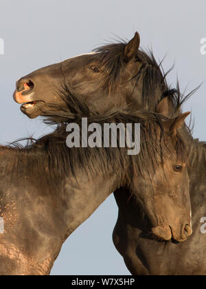 Wild Mustang horses nuzzling up to each other, Pryor Mountains, Montana, USA. - Stock Photo