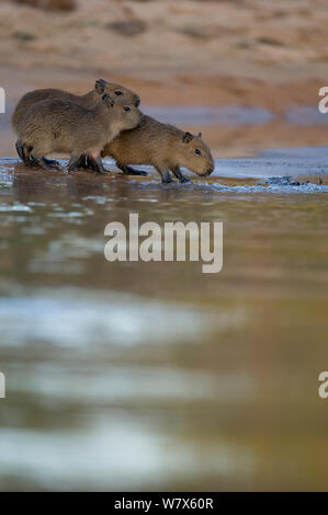 Capybara (Hydrochoerus hydrochaeris) juveniles at the water's edge, Mato Grosso, Pantanal, Brazil.  August. - Stock Photo