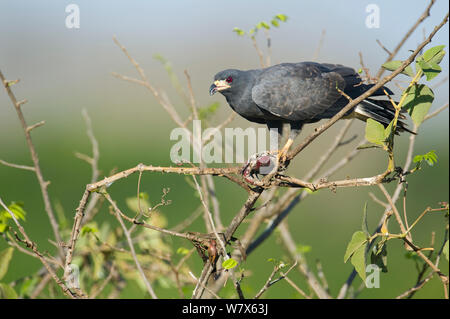 Snail Kite (Rostrhamus sociabilis)  perched in a tree, Mato Grosso, Pantanal, Brazil.  July. - Stock Photo