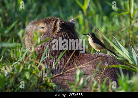 Black-capped Donacobius (Donacobius atricapilla) perched on back of Capybara (Hydrochoerus hydrochaeris)  Capybara, Mato Grosso, Pantanal, Brazil.  July. - Stock Photo