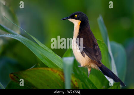 Black-capped Donacobius (Donacobius atricapilla)  perched on river reed, Mato Grosso, Pantanal, Brazil.  August. - Stock Photo