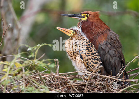 Rufescent Tiger Heron (Tigrisoma lineatum)  adult and juvenile at nest, Mato Grosso, Pantanal, Brazil.  August. - Stock Photo