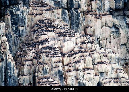 Brunnich's guillemot (Uria lomvia) nesting colony, Alkefjellet cliff, Svalbard, Norway.  July. - Stock Photo