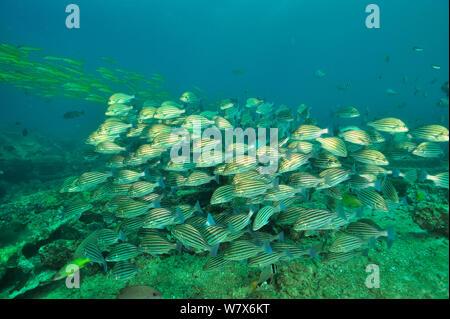 School of Bronzestriped grunts (Pomadasys taeniatus) and a school of Yellowfin goatfish (Mulloidichthys vanicolensis) in the background, coast of Dhofar and Hallaniyat islands, Oman. Arabian Sea. - Stock Photo