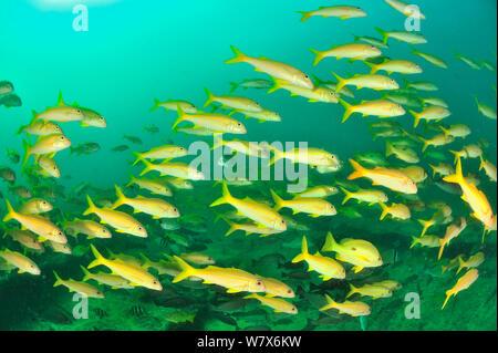 School of Yellowfin goatfish (Mulloidichthys vanicolensis), coast of Dhofar and Hallaniyat islands, Oman. Arabian Sea. - Stock Photo