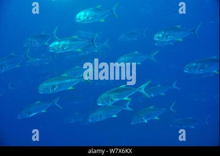 School of Bloch's / Subnose pompanos (Trachinotus blochii), coast of Dhofar and Hallaniyat islands, Oman. Arabian Sea. - Stock Photo