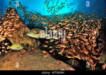School of Yellow sweepers /  Glassfish (Parapriacanthus ransonneti / guentheri) on reef with Lemonfish / Gold-spotted sweetlips (Plectorhinchus flavomaculatus), coast of Dhofar and Hallaniyat islands, Oman. Arabian Sea. - Stock Photo