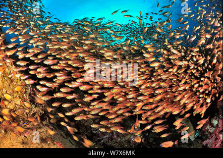 School of yellow sweepers / glassfish (Parapriacanthus ransonneti / guentheri) on reef, coast of Dhofar and Hallaniyat islands, Oman. Arabian Sea. - Stock Photo