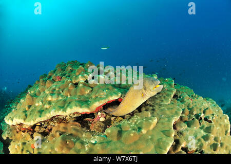 Yellowmouth / Starry moray (Gymnothorax nudivomer) coming out of its hole in a hard coral reef (Porites), coast of Dhofar and Hallaniyat islands, Oman. Arabian Sea. - Stock Photo