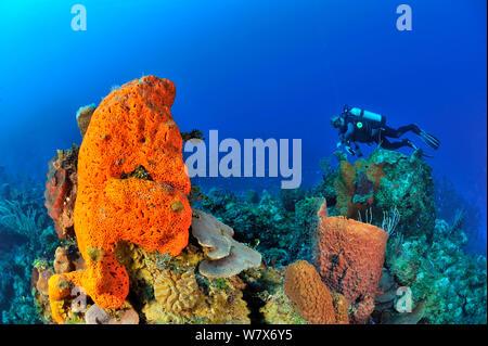 Diver on coral reef with a Giant barrel sponge (Xestospongia muta), Elephant ear sponge (Agelas clathrodes) and corals, San Salvador Island / Colombus Island, Bahamas. Caribbean. June 2013. - Stock Photo