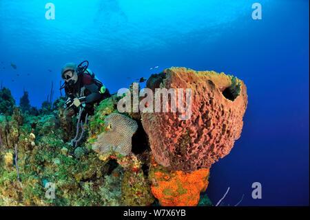 Diver on coral reef with Giant barrel sponge (Xestospongia muta), Elephant ear sponge (Agelas clathrodes) and coral, San Salvador Island / Colombus Island, Bahamas. Caribbean. June 2013. - Stock Photo
