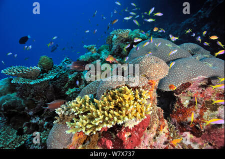 Coral reef with hard corals (Acropora ) and Jewel fairy basslets / anthias (Pseudanthias squamipinnis) and Yellow-tail / yellowback basslets (Pseudanthias evansi) Maldives. Indian Ocean. - Stock Photo