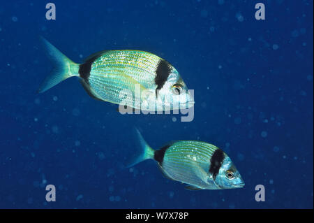 Two Common two-banded sea breams (Diplodus vulgaris), Gozo Island, Malta. Mediterranean Sea. - Stock Photo