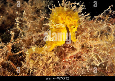 Yellow long-snouted seahorse (Hippocampus ramulosus / guttulatus), Gozo Island, Malta. Mediterranean Sea. - Stock Photo