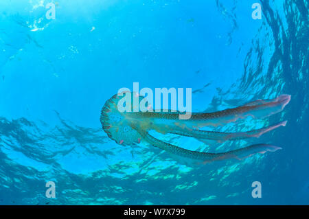 Luminescent jellyfish / Mauve stinger (Pelagia noctiluca) in open water, Gozo Island, Malta. Mediterranean Sea. - Stock Photo