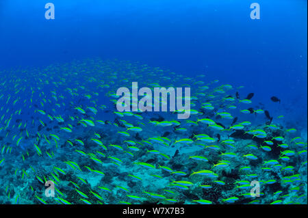 School of Yellowback fusiliers (Caesio xanthonota) Madagascar. Indian Ocean. - Stock Photo
