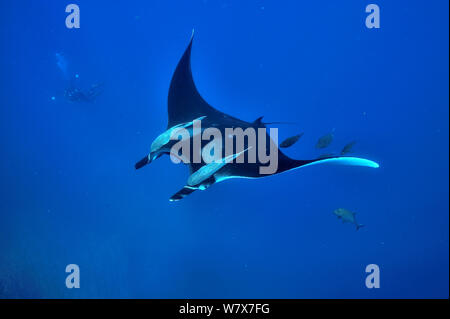 Diver filming a giant manta ray (manta birostris) swimming in open water with two remoras (Remora remora) hung on its body and surrounded with black jacks / trevally (Caranx lugubris), Revillagigedo islands, Mexico. Pacific Ocean. June 2012. - Stock Photo