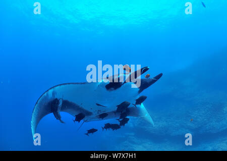 Giant manta ray (manta birostris) with two Remoras (Remora remora) attached its body and surrounded with Black jacks / trevally (Caranx lugubris) and a Clarion angelfish (Holacanthus clarionensis)  Revillagigedo islands, Mexico. Pacific Ocean. - Stock Photo