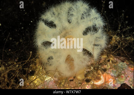 Giant plumrose anemone (Metridium farcimen), Alaska, USA, Gulf of Alaska. Pacific ocean. - Stock Photo