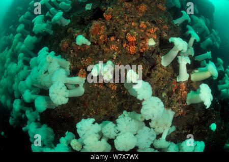 Field of Giant plumrose anemones (Metridium farcimen), Alaska, USA, Gulf of Alaska. Pacific ocean. - Stock Photo