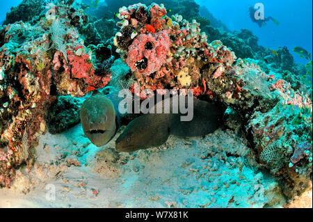 Two Giant morays (Gymnothorax javanicus) coming out of their burrows on coral reef, with Oriental sweetlips (Plectorhinchus orientalis) on background,  Maldives. Indian Ocean. - Stock Photo