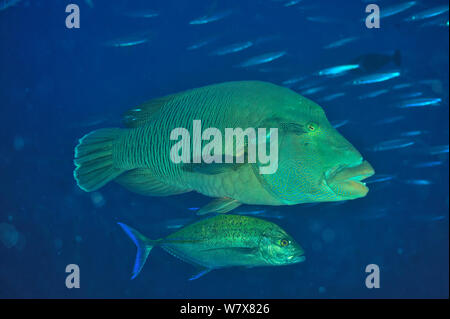 Napoleonfish (Cheilinus undulatus) with Bluefin trevally / jack (Caranx melampygus). The Bluefin jack feeding on smaller fish which are too small to be prey for the Napoleonfish. Maldives. Indian Ocean. - Stock Photo