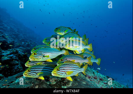School of Oriental sweetlips (Plectorhinchus orientalis) at a cleaning station, Maldives. Indian Ocean. - Stock Photo