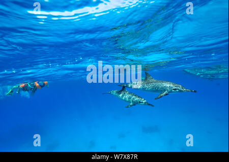 Young boy and an adult snorkeling at the surface above a group of spinner dolphins (Stenella longirostris) Egypt. Red Sea. June 2010. - Stock Photo