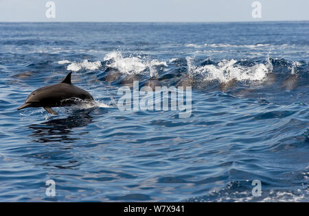 Group of Spinner dolphins (Stenella longirostris centroamericana) porpoising at the surface,  Costa Rica. Pacific ocean. - Stock Photo