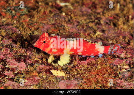 Bartel's dragonet (Synchiropus bartelsi), coast of Dhofar and Hallaniyat islands, Oman. Arabian Sea. - Stock Photo