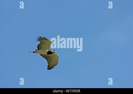 Black-chested snake eagle (Circaetus pectoralis) in flight, Masai Mara ,Kenya. - Stock Photo