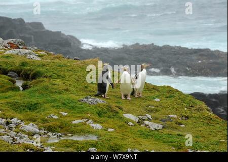 Yellow eyed penguins (Megadyptes antipodes) on coast. Enderby Island, Auckland group (Subantarctic), New Zealand, February.