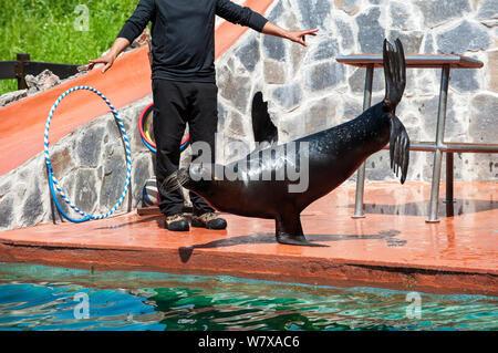 Patagonian sea lion / South American sea lion / Southern sea lion  (Otaria flavescens / Otaria byronia). performing trick, standing on one flipper, Cabarceno Natural Park,, Cantabria, Spain, May 2014. - Stock Photo
