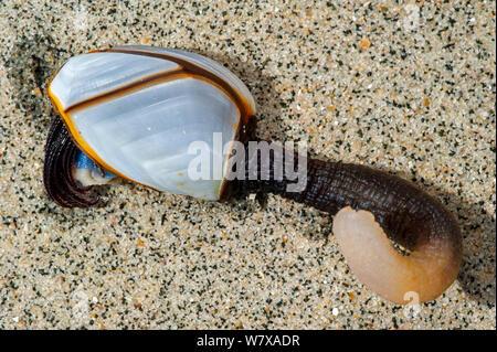 Goose barnacle (Lepas anatifera) washed onto beach, Aquitaine, France, May. - Stock Photo