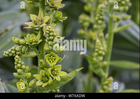 False helleborine / white hellebore (Veratrum album) in flower, Belgium, April. - Stock Photo