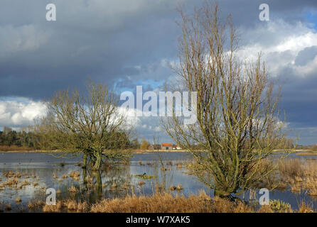 Willow trees (Salix sp) in flooded meadow in Bourgoyen Ossemeersen, a Belgian nature reserve and an internationally important wetland for wintering waterfowl. Near Ghent, Belgium, February 2014. - Stock Photo