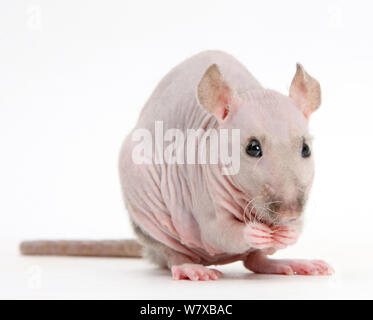 Sphynx Rat. - Stock Photo