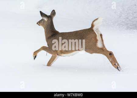 White-tailed deer (Odocoileus virginianus) running through snow, Acadia National Park, Maine, USA, February. Sequence 1 of 2. - Stock Photo