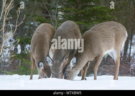 White-tailed deer (Odocoileus virginianus) feeding in snow, Acadia National Park, Maine, USA, March. - Stock Photo