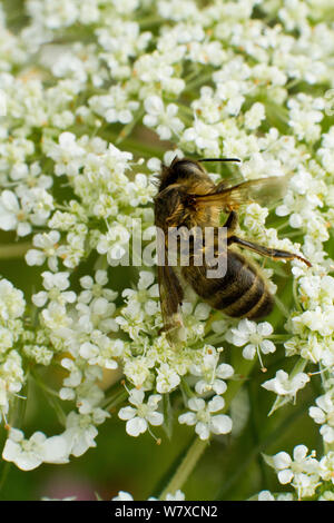 Dead Honey bee (Apis mellifera) on Wild carrot (Daucus carotta) flowers, cause of death unknown. Cwmbran, South Wales, UK, July. - Stock Photo