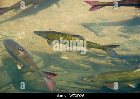 Endemic Clanwilliam sawfin (Barbus serra) and Clanwilliam sandfish (Labeo seeberi) released into the Koebee-Oorlogskloof river tributary. Rietkuil, Oorlogskloof gorge, Doring River, Western Cape, South Africa. - Stock Photo