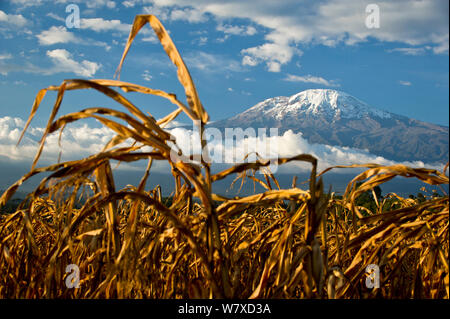Field of African maize (Zea Mays) below Mount Kilimanjaro, Tanzania, East Africa. August 2010. - Stock Photo