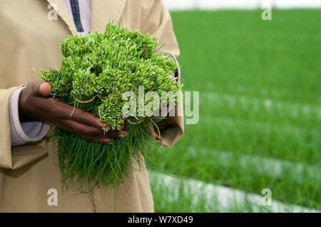 Worker holding Chives (Allium schoenoprasum) harvested on a commercial farm, Tanzania, East Africa. - Stock Photo
