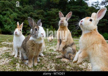Feral domestic rabbits (Oryctolagus cuniculus) sitting up alert, Okunojima Island, also known as Rabbit Island, Hiroshima, Japan. - Stock Photo