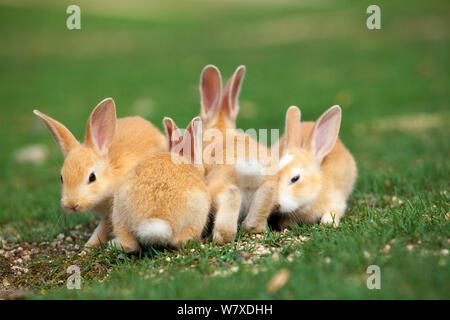 Feral domestic rabbit (Oryctolagus cuniculus) babies, Okunojima Island, also known as Rabbit Island, Hiroshima, Japan. - Stock Photo