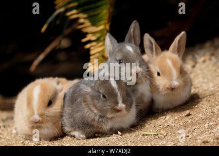 Feral domestic rabbit (Oryctolagus cuniculus) group of four babies resting, Okunojima Island, also known as Rabbit Island, Hiroshima, Japan. - Stock Photo