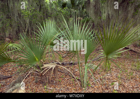 Saw Palmetto (Serenoa repens) leaves and forest along the Big Ferry Trail in Skidaway Island State Park, Georgia, USA. - Stock Photo