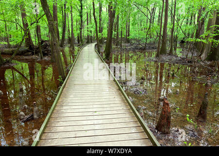 The Boardwalk Trail through swamp with bald cypress (Taxodium distichum) knees in Congaree National Park South Carolina, USA. - Stock Photo
