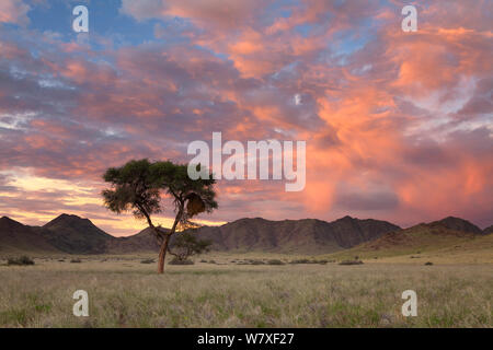Camelthorn tree in mountain valley at sunset. Namib Naukluft National Park, Namibia. February 2011. - Stock Photo