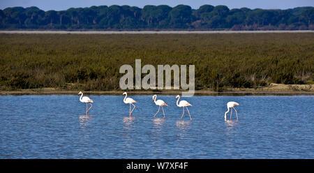 Greater flamingos (Phoenicopterus ruber) in wetland habitat, Donana National Park, Andalusia, Spain, March. - Stock Photo